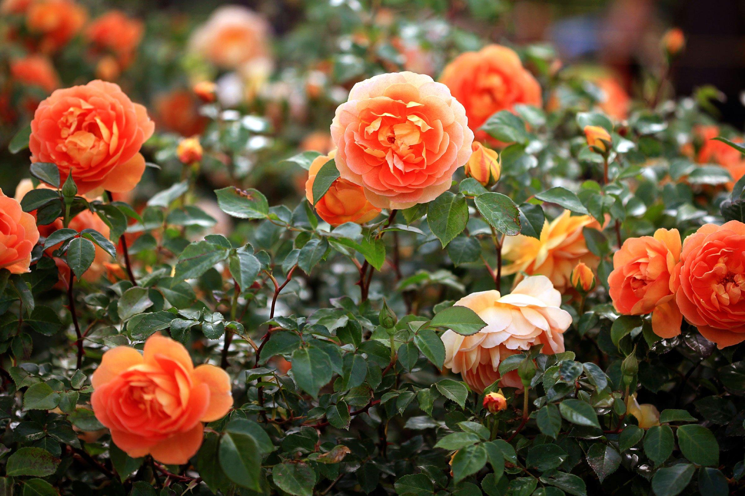 Image result for rose garden banana