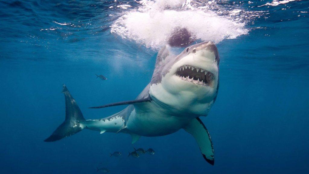 http://158.69.55.95/wp-content/uploads/2018/09/great-white-shark-gty-jt-180804_hpMain_2_16x9_1600-1024x576.jpg