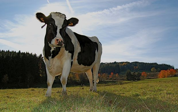 Image result for cows farm