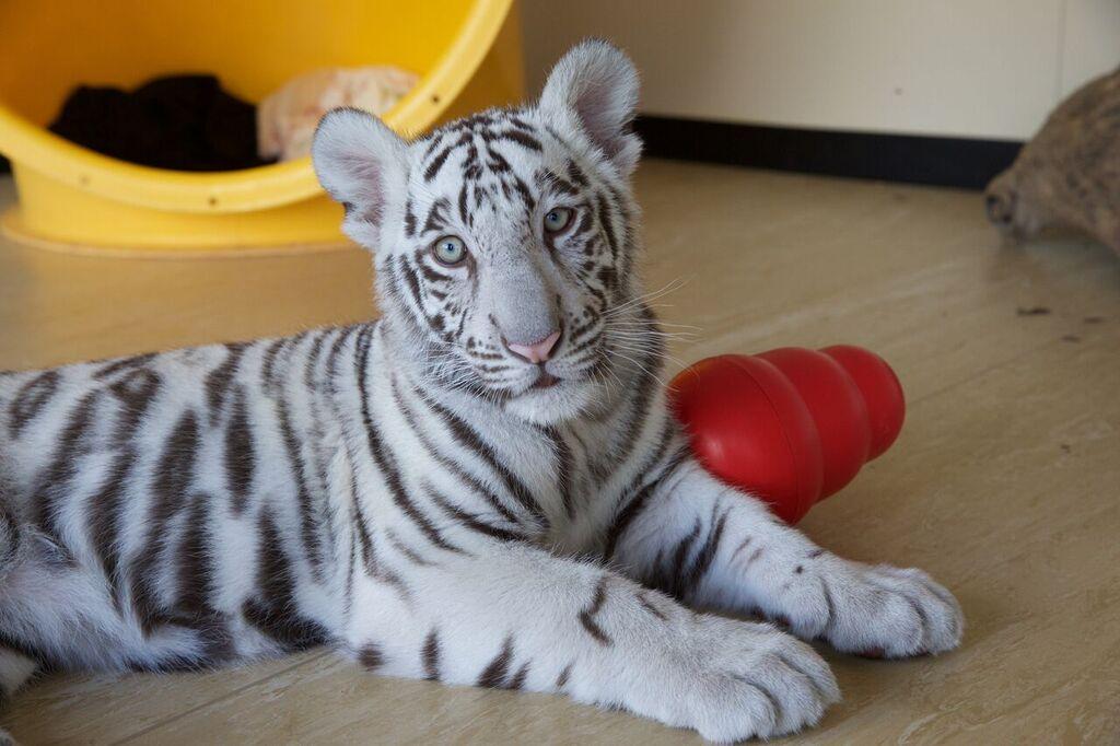 Image result for white tigers kai white