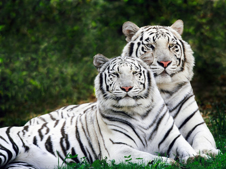 Image result for white tigers