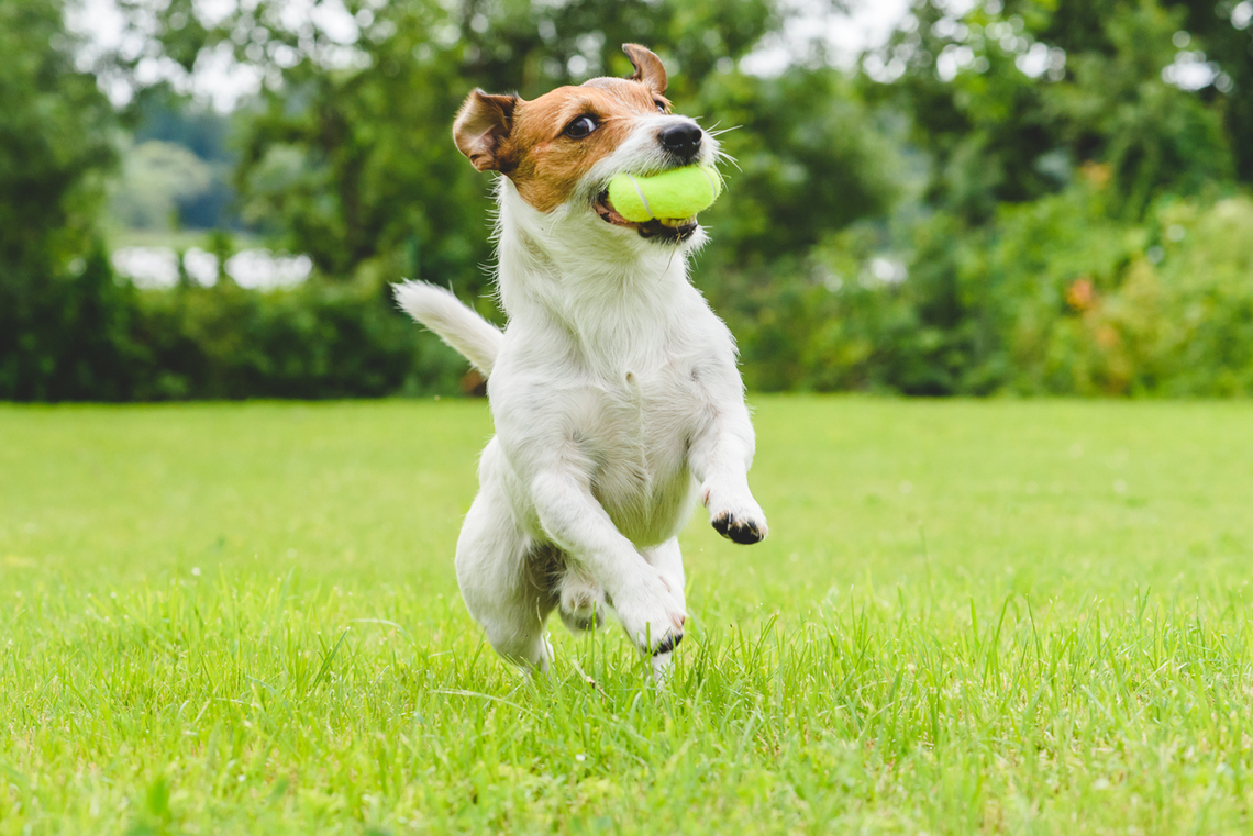 Image result for dog breed jack russell